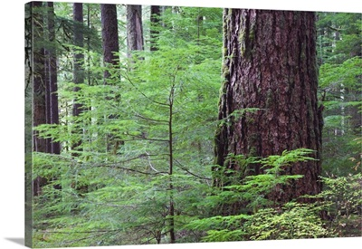 Lush foliage in old-growth rain forest, Sol Duc Valley, Olympic National Park, Washington