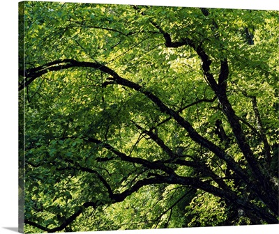 Lush foliage of trees in summer, close up, White Pine Hollow Preserve, Iowa