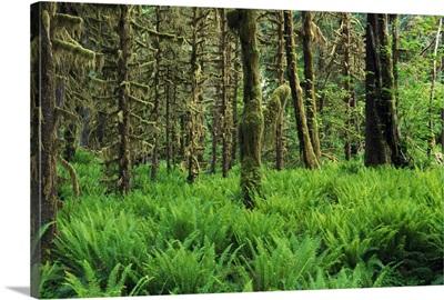 Lush foliage, old-growth trees, Hoh Rain Forest, Olympic National Park, Washington, united states,