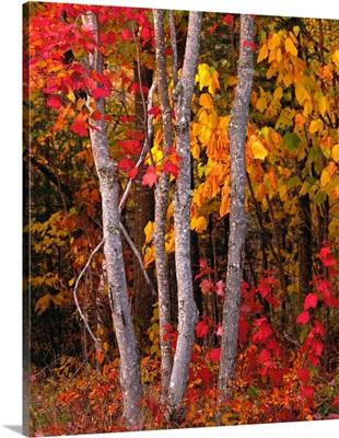 Maine, Autumn maple trees