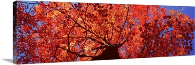Maine, Mount Desert Island, Acadia National Park, Low angle view of a maple tree