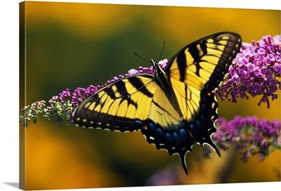 Male Tiger Swallowtail Butterfly On Blooming Purple Flower