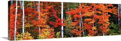 Maple and birch trees in a forest, Maine