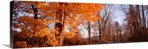 Maple tree in autumn, Litchfield Hills, Connecticut