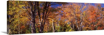 Maple tree in autumn, Vermont,