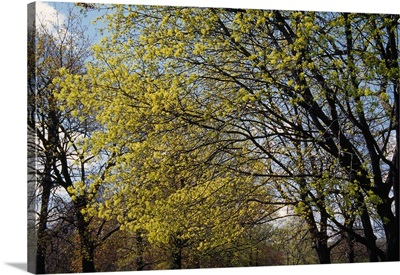 Maple trees budding in spring, New York