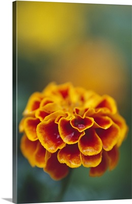 Marigold flower blooming, selective focus close up.