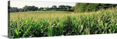 Maryland, Baltimore County, cornfield