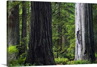 Massive redwood trees, Prairie Creek Redwoods State Park, California