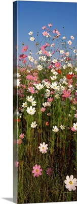 Mexican asters Cosmos bipinnatus blooming in a field South Africa
