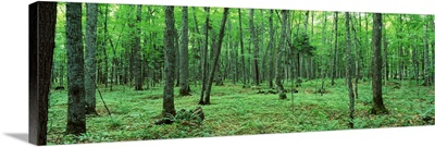 Michigan, Black River National Forest, Trees in a forest