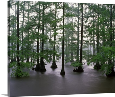 Misty stand of bald cypress trees (Taxodium distichum) in Bluff Lake, Noxubee National Wildlife Refuge, Mississippi