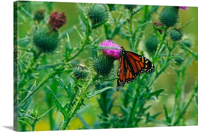 Monarch butterfly (Danaus plexippus) on thistle blossom.