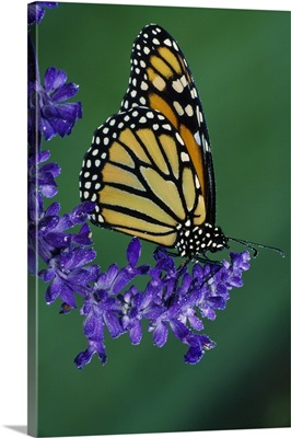 Monarch butterfly on flower blossom, profile, Michigan