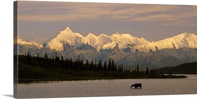 Moose standing on a frozen lake, Wonder Lake, Denali National Park, Alaska