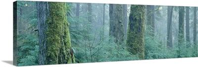 Moss covered Douglas fir trees, Olympic National Park, Washington State
