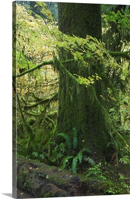 Moss draping tree branches in old-growth forest, Hoh Rain Forest, Olympic National Park, Washington