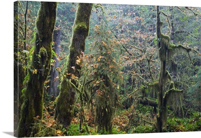 Moss draping trees in old-growth forest, Hoh Rain Forest, Olympic National Park, Washington