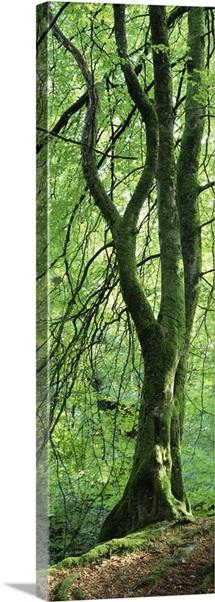 Moss growing on a beech tree, Perthshire, Scotland