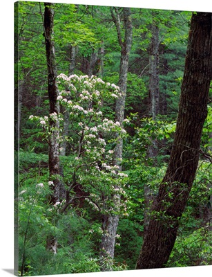 Mountain laurel blooming in forest, Great Smoky Mountains National Park, Tennessee.