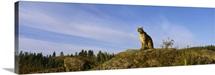 Mountain Lion sitting on a rock, Montana, (Felis concolor)