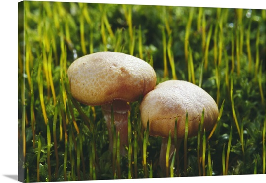 how to grow psychedelic mushrooms from spores