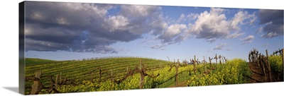 Mustard and vine crop in the vineyard Carneros Valley Napa County California