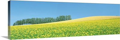 Mustard field with blue sky in background