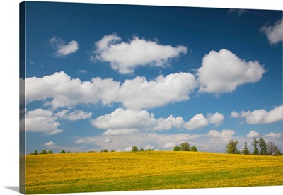 Mustard fields, Smiltene, Vidzeme Region, Latvia