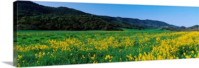 Mustard Topa Topa Mountains CA