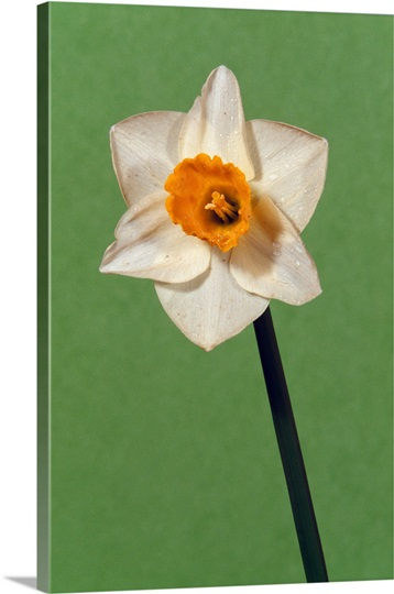 Narcissus or daffodil flower blossom, green background.