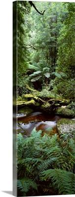 Nelson River Forest Reserve Queenstown Tasmania Australia