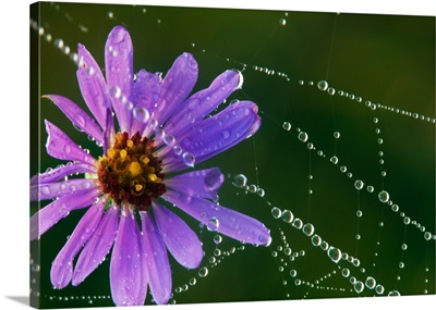 New england aster flower blossom in dew-covered spider web, close up, Michigan