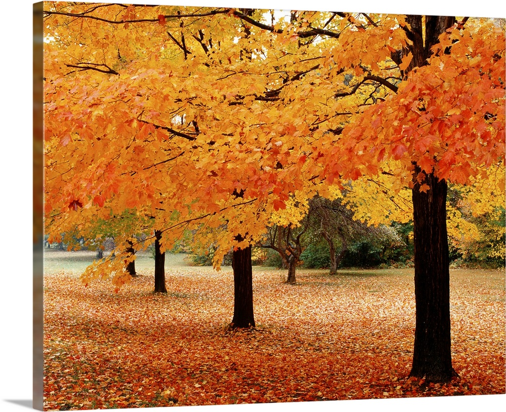 New York State Erie County Chestnut Ridge Country Park Leaves Of Maple Tree On The Ground Wall Art Canvas Prints Framed Prints Wall Peels Great Big Canvas