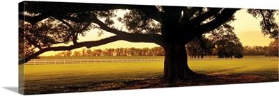 Oak Tree at Sunset Louisiana