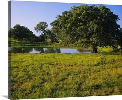Oak tree in a field, Tucson, San Rafael Valley, Santa Cruz County, Arizona