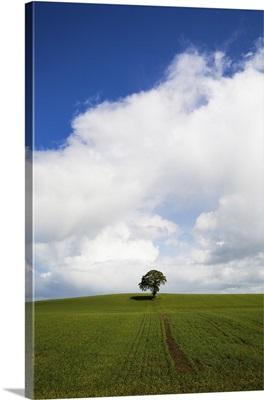 Oak Tree in Arable Field, Near Carlow, Co Carlow, Ireland