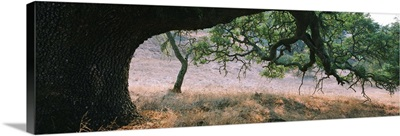Oak tree on a field, Sonoma County, California