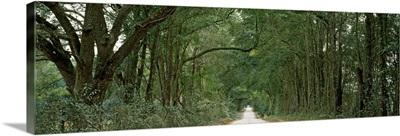 Oak trees along a dirt road, Williston, Levy County, Florida,