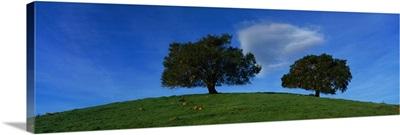 Oak Trees CA