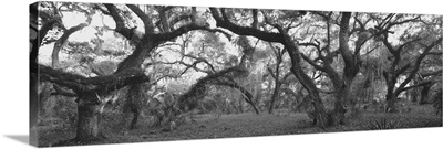 Oak trees in a forest, Lake Kissimmee State Park, Florida