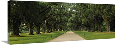 Oak trees on both sides of a path, Charleston, South Carolina