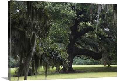 Oak trees on former plantation, St. Francisville, West Feliciana Parish, Louisiana