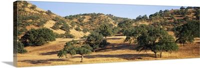 Oak trees on hill, Stanislaus County, California