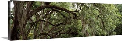 Oak Trees St Francisville LA
