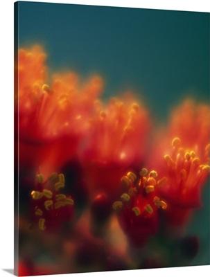 Ocotillo cactus blossoms, soft focus detail, Texas