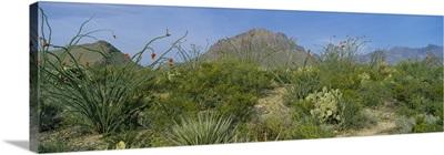 Ocotillo plants in a park, Big Bend National Park, Texas