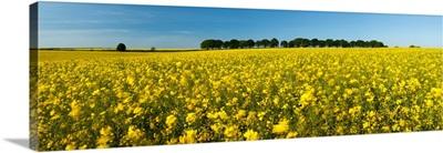 Oilseed rape crop in a field, Cheesefoot Head, Hampshire, England
