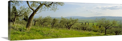 Olive orchard on a landscape, Assisi, Perugia Province, Umbria, Italy