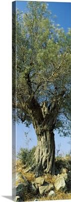 Olive tree in a field, Aegina, Saronic Gulf Islands, Attica, Greece